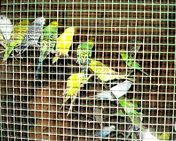 Love_birds_in_cage