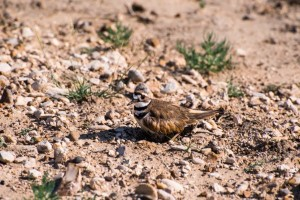 quail on ground