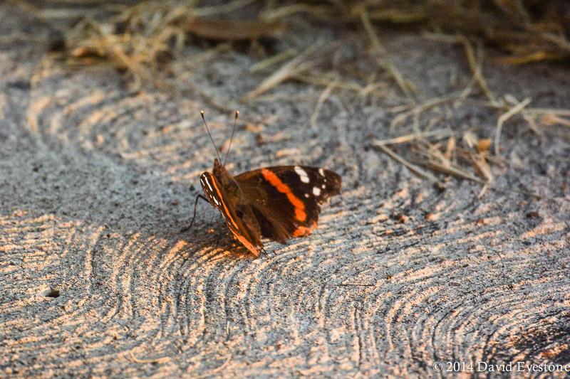 butterflyDSC_2085