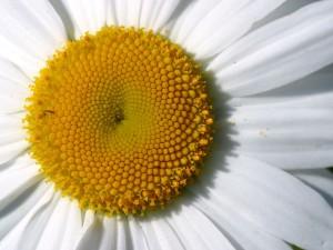 daisy-detail