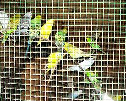 Love_birds_in_cage