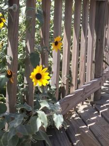 sunflowersincage