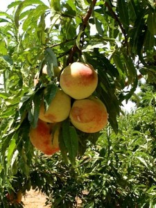 abundantfruit